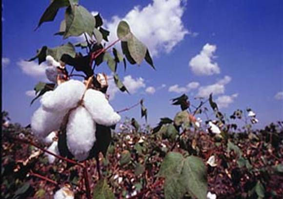 Bt Cotton Pictures